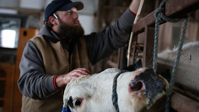 A farmer stands with his hand on the head of a dairy cow as she is being milked to produce fresh Vermont milk.